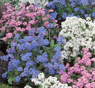 £2.79 • Buy 200 X FORGET ME NOT Seeds Myosotis MIXED COLOUR Quality UK Seeds *Fast Dispatch*