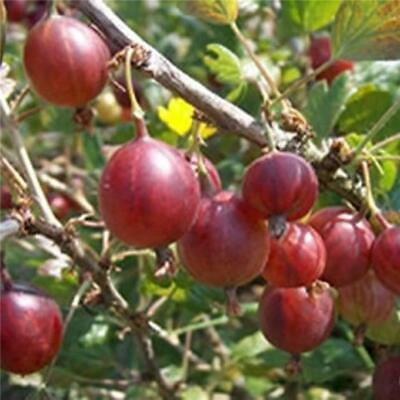 £10.95 • Buy Gooseberry Hinnomaki Red, Hardy Plant In A Pot, Prolific Cropper, Just So Tasty!