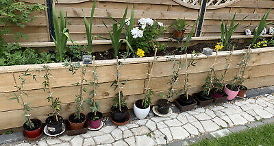 £6 • Buy 10 Passion Flowers Plants Tied To The Canes