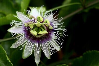 £5.99 • Buy Passiflora - Passion Fruit Baby Plant Special Exotic Flower -50% Off  (RRP £12)
