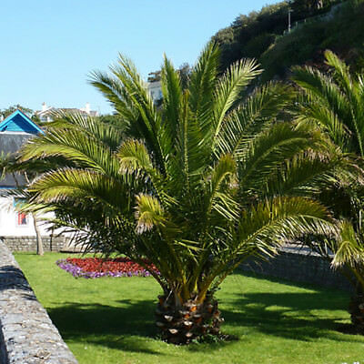 £22.99 • Buy Pair Of Hardy Canary Island Phoenix Canariensis Date Palm Trees 70-80cm Tall