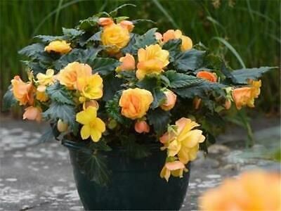 £12.95 • Buy 4 X Begonia Apricot Shades Trailing Plants In 7cm Pots For Baskets & Containers