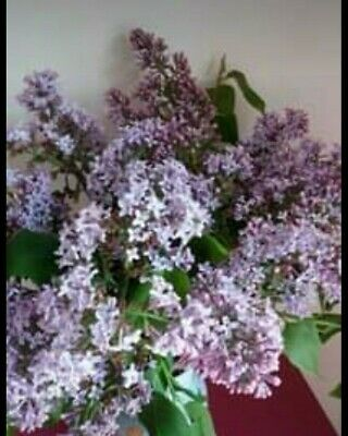 £42.99 • Buy Lilac Tree 5 Year Old Potted Ready For A New Home Collection Only
