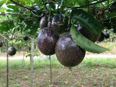 £3.49 • Buy Evergreen Hardy Passion Fruit Plant Or Seeds - Easy Growing Passion Fruit