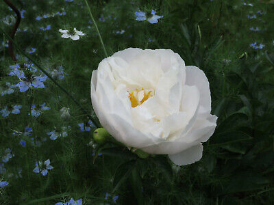 £2.20 • Buy Paeonia 'Miss America', Herbaceous Perennial X 6 Fresh Seed Peony White Double