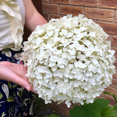£22 • Buy Tree Hydrangea 'Incrediball' (Strong Annabelle) Plant In 3L Pot.