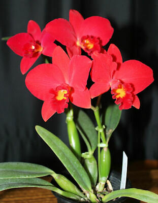 AU99 • Buy RON Orchid Rlc. Ability Red Sunset Memory' Mericlone Flask 25 Plants