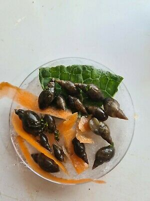 £8 • Buy 10 Smaller Pond Snails (Lymnaea Stagnalis) . FAST GROWERS CLEAN UP CREW Free Pp