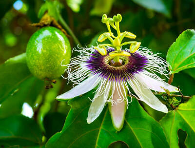 £5.99 • Buy Evergreen Hardy Climbing Passion Flower Passiflora Plug Plant Or Seeds