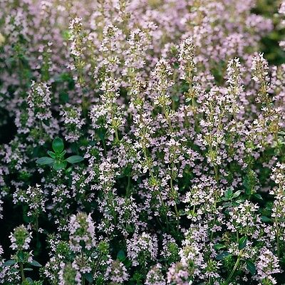 Herb Seeds - Thyme English Winter - 1000 Seeds • 0.99£