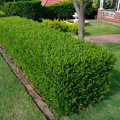 10 X Buxus Sempervirens Common Box Bushy Evergreen Hedging Plant In Pot • 24.99£