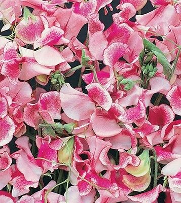 AU3.80 • Buy F0488 Sweet Pea Ripple Pink & White X10 Seeds Scented Winter Cut Flower
