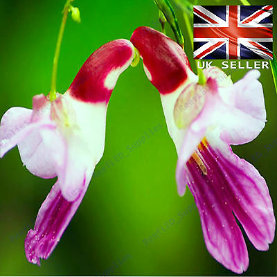 AU4.80 • Buy RARE Parrot Orchid Flower,  - 5 Viable Seeds - UK SELLER