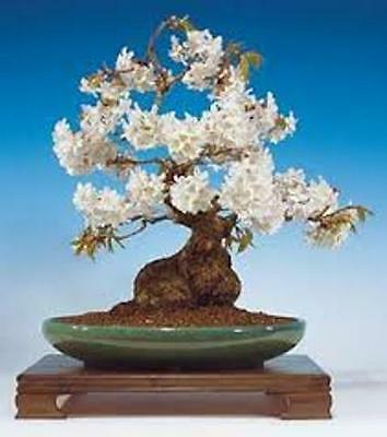 10 X Wild Cherry Tree Seeds. Tree Seeds That Can Be Used For Bonsai. • 2.50£