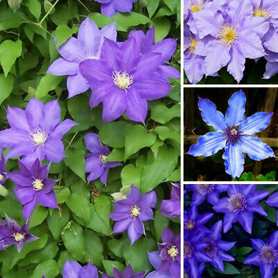 1 X Clematis Blue Purple Coloured Large Flowering Climber Hardy Plant In Pot • 11.99£
