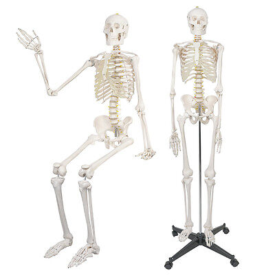 $107.72 • Buy 70  Life Size Human Anatomical Anatomy Skeleton Model W/Spinal Nerves & Stand