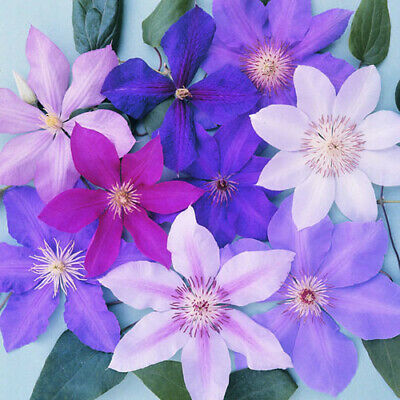 5 X Clematis Mixed Colours Large Large Flowering Climber Hardy Plant In Pot • 26.99£