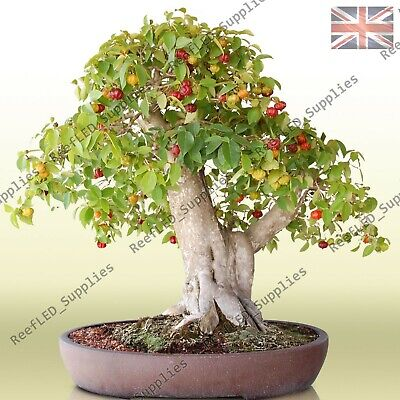 RARE Dwarf Mini Cherry Bonsai Tree Fruit Sweet Sylvia -10 Viable Seeds-UK Seller • 2.99£