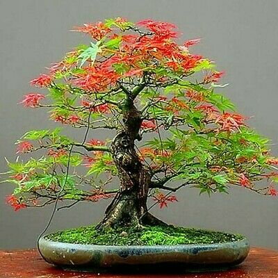20 Seeds Japanese Maple Tree Red And Green Leaf  Bonsai Acer Seed (JPN9) Rainbow • 3.49£