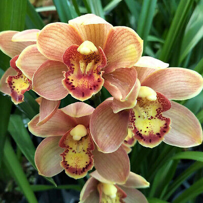 AU37 • Buy RFO Cymbidium 'Tangerine' 140mm Pot