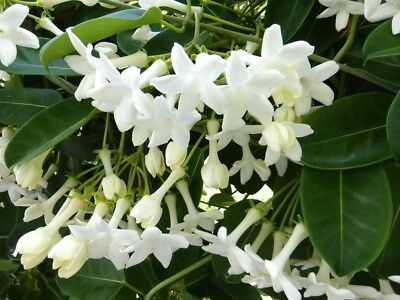 $9.96 • Buy Stephanotis Floribunda Madagascar Jasmine 10 Seeds FREE SHIP