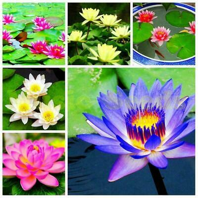$ CDN2.48 • Buy 40Pcs Lotus Flower LotusS Seeds Aquatic Plants Lotus Seeds Lily Water A2O6 G6S1