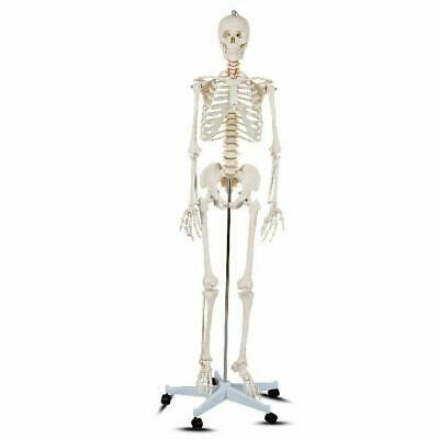$138.54 • Buy Costway Life Size Human Anatomical Anatomy Skeleton Medical Model + Stand
