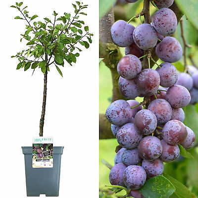 Patio Fruit Tree Collection | Various Fruits | Ideal For Small Gardens  | 2-3ft • 34.99£