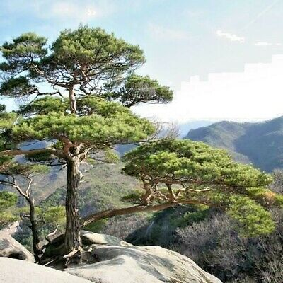 CARBON ABSORBING TREE.....15 X Chinese Red  Pine Tree Seeds.....Ref OT-13 • 2.65£