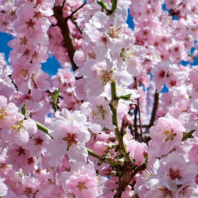 Japanese Sakura Tree Seeds Pink Cherry Plum Blossom Winter Hardy • 2.50£