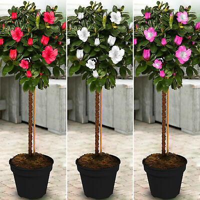 Azalea Japonica Tree | Trees For Small Gardens Border Patio Potted Plant | 2-3ft • 34.99£