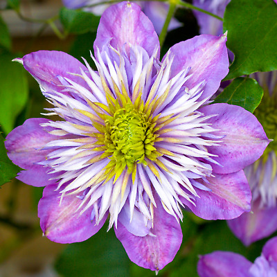 Clematis 'Crystal Fountain' Hardy Deciduous Flowering Climber Plant • 12.99£