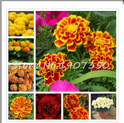 100 Seeds Mix African Marigold French Marigold Herbs Tagetes Erecta Flower Bonsa • 3.99£