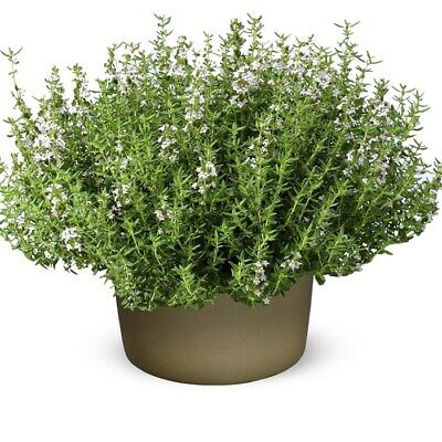 English Winter Thyme Herb Vegetable Seeds Thymus Vulgaris Approx. 1750 Seeds • 3.99£