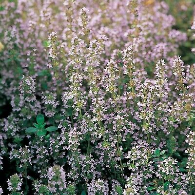 Thyme Seeds Uk Sourced Av 500 Seeds Sow By 06/2022 Seed Parade • 3.40£