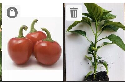 1 Cherry Bomb - Chilli Pepper Plant -cherry Naga Very Hot .&Tasty .. Bare Rooted • 4.99£