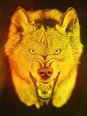 £14.42 • Buy 4x6  10x15cm Wolf With Flashing Eyes - True 3D Laser Hologram Picture Matted
