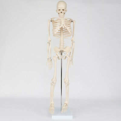$49.99 • Buy Life Size Medical Anatomical Human Skeleton Model With Rolling Stand 85CM 33.5