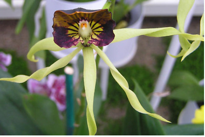 AU15 • Buy Orchid Species Encyclia Cochleata
