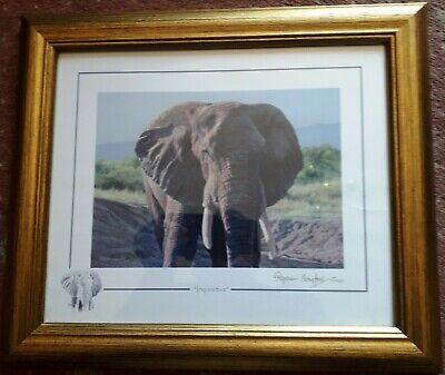 Stephen Gayford Limited Print. 'Inquisitive' . Elephant Signed 11/1100 • 24.99£