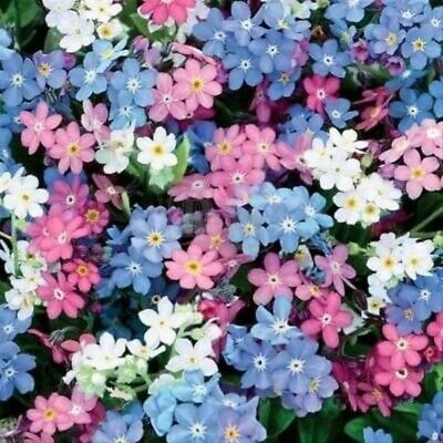 100 X Myosotis 'FORGET-ME-NOT' Seeds - Mixed Colour - Quality UK Seeds • 1.99£