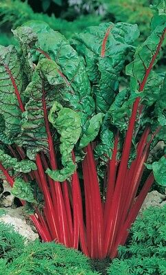 30 Red Rhubarb Swiss Chard Seeds - Sow Up To Early August Vegetable Seeds • 1.99£