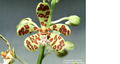 AU25 • Buy Orchid Species Staurochilus Ionosoma