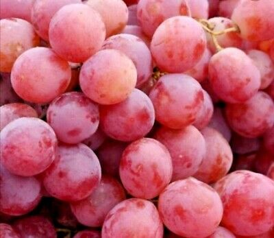 🍇🍇35  Red Grapes Vine Seeds🍇🍇 • 2.99£