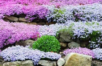 4 Ground Cover Evergreen Creeping Phlox Perennial Plants  In 9cm Pots.  • 7.95£