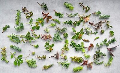 £9.50 • Buy 15 Sedum Succulents Assorted Cuttings Outdoor Hardy Groundcover Greenroof