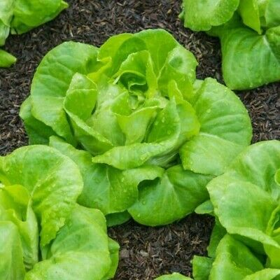 £1.99 • Buy Vegetable Lettuce All Year Round 100 Finest Seeds
