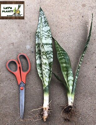 AU25 • Buy Snake Plant/Mother-in-law's Tongue(Sansevieria Trifasciata)2 Bare Rooted