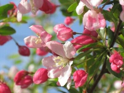 £19.99 • Buy Potted 18ins WILD CRAB APPLE TREE Rosy Fruit Patio Garden Orchard Pollinator