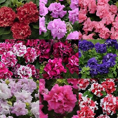 AU5.50 • Buy Grandiflora Double Petunia - 9 Colours Available - Annual Flower - 10 Seeds
